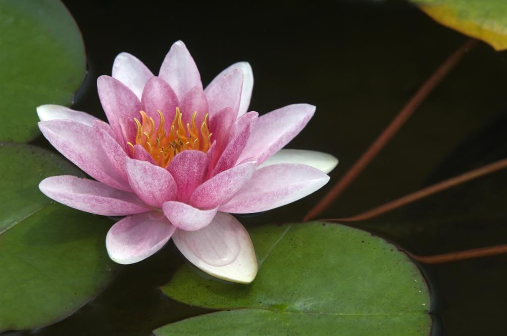 image of blooming water lily